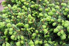 "Close-up of common spruce Picea abies f. ""Little Gem"" in the garden Stock Photos"