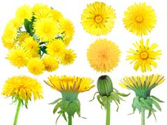 Set of yellow dandelion-flowers Stock Photos