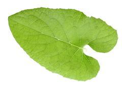 one green leaf - stock photo