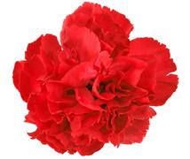 One a red carnation Stock Photos