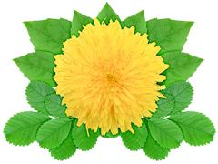 yellow flower with green leaf - stock photo