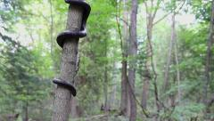 A Black Ratsnake on a tree in Ontario, Canada. Stock Footage