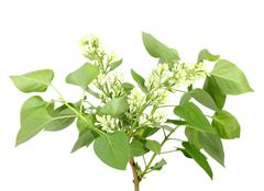Branch of white lilac Stock Photos