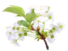 Branch of apple-tree with white flowers Stock Photos