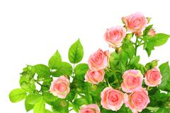 branch of light pink roses - stock photo
