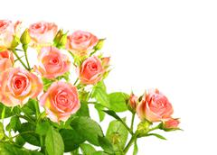 Light pink roses with green leafes Stock Photos