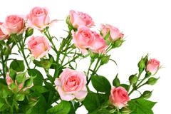 Bush of pink roses with green leafes Stock Photos