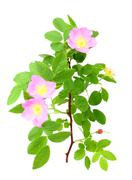 dog-rose with green leafs and pink flowers - stock photo