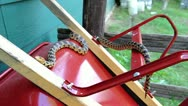 An Endangered Foxsnake slithers along a wheelbarrow near a house. Stock Footage