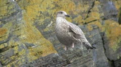 Sea gull perched on a rock. Stock Footage