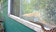 An Endangered Foxsnake slithers along a window sill looking for way into house. - stock footage