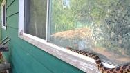 An Endangered Foxsnake slithers along a window sill looking for way into house. Stock Footage