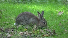Rabbit nibbling grass in a wood, in England. Stock Footage