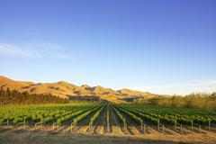 Vineyard in canterbury, new zealand Stock Photos