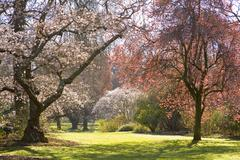 christchurch blossom in hagley park - stock photo
