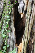 Stock Photo of camphor tree bark