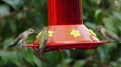 Annas Hummingbird Females and Male Drinking from Feeder Stock Footage
