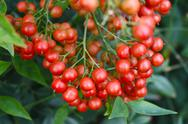 Stock Photo of Cluster of Small Red Berries Surrounded by Green Leaves