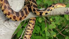 An Endangered Foxsnake crawls along a tree branch in Ontario, Canada. Stock Footage