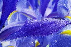 Stock Photo of iris flower