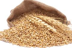 Stock Photo of the scattered bag with wheat of a grain