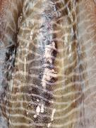 Mustekalan kala ihon tekstuuri Kuvituskuvat