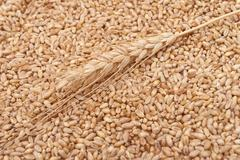 Stock Photo of wheat ear