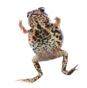 animal toad frog jump - stock photo