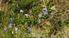 Bell flower Stock Footage