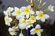 Stock Photo of frangipani