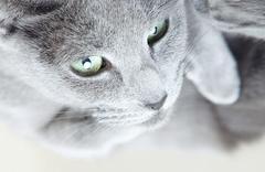 Gray pussy cat Stock Photos