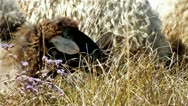 Sheep in the meadow flowers Stock Footage