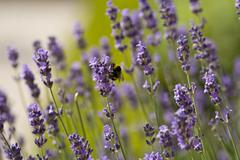 Lavender and the bumble bee - stock photo