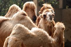 Animal camel portrait Stock Photos