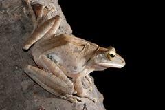 animal tree frog on branch - stock photo
