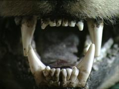DRACULA CASTLE bearskin zoom on the teeth - stock footage
