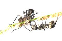 ant and aphid symbiosis - stock photo