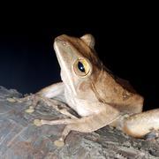 animal tree frog - stock photo
