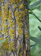 Bark of tree with lichen  Stock Photos