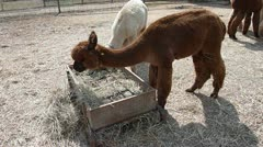 Alpacas Feeding on Hay Stock Footage