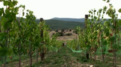 Women gather grapes (Harvesting). Time lapse Stock Footage