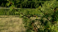 Juniper & the vineyard in mountains.  (terroir) Stock Footage