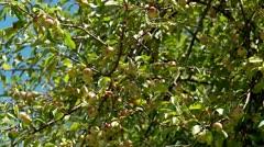 Apples on apple tree Stock Footage