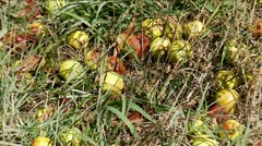 Fallen wild apples in the grass Stock Footage