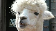 White Alpaca Eating Grass - stock footage