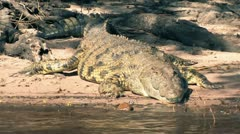 A Nile Crocodile - stock footage