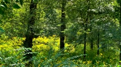 Ragweed field or yellow wild flower in woods 2 Stock Footage