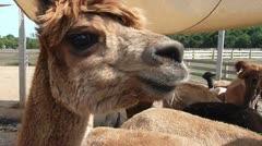 Closeup of Alpaca's Face - stock footage
