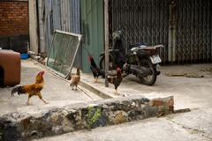 Cocks in the village at Con Dao island in Vietnam. Stock Photos