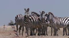 Zebra in african savanna Stock Footage